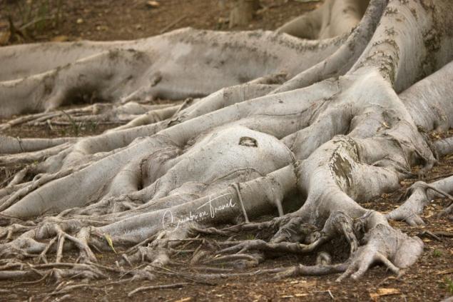San Diego Zoo Safari Park - tree-roots