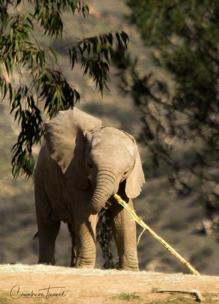 San Diego Zoo Safari Park - Elephant