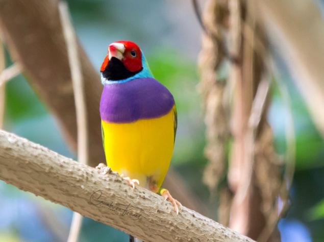 San Diego Zoo Safari Park - Gouldian Finch