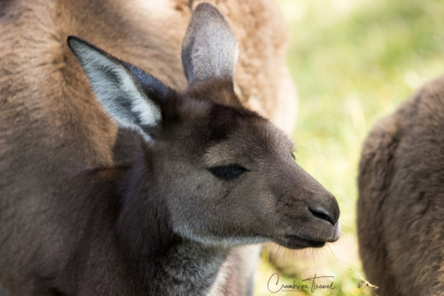 San Diego Zoo Safari Park - Kangaroo