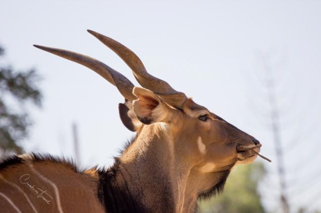 San Diego Zoo Safari Park - Spiral Horned Antelope