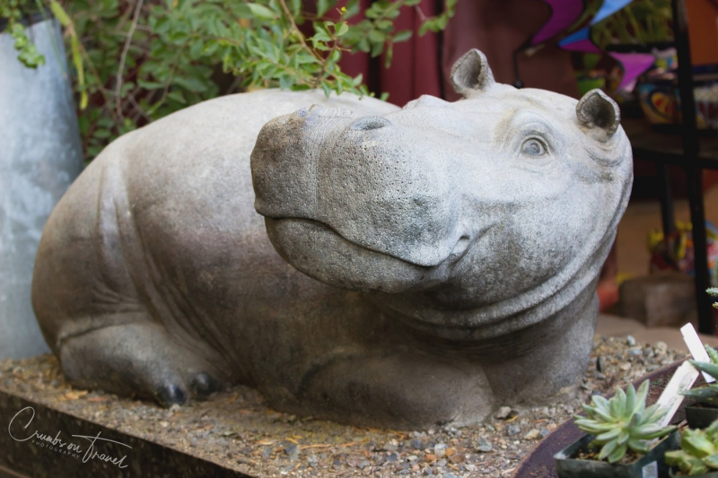 San Diego Zoo Safari Park - Hippopotamus