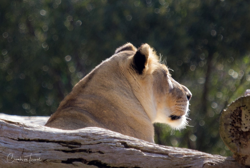 San Diego Zoo Safari Park - Lioness