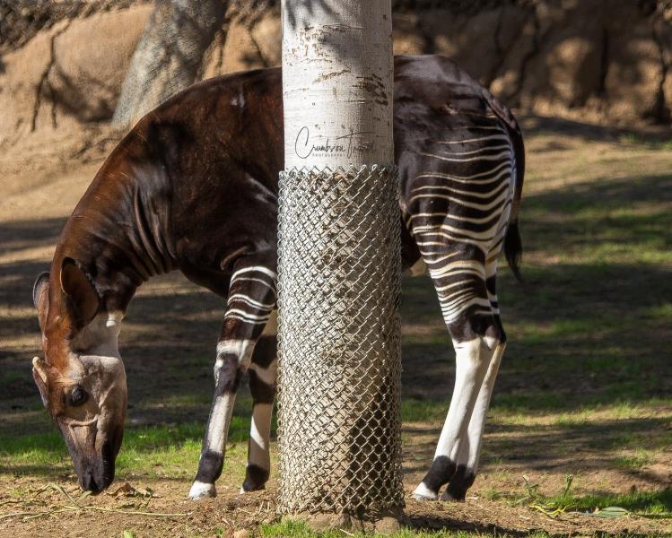 San Diego Zoo Safari Park - Okapi