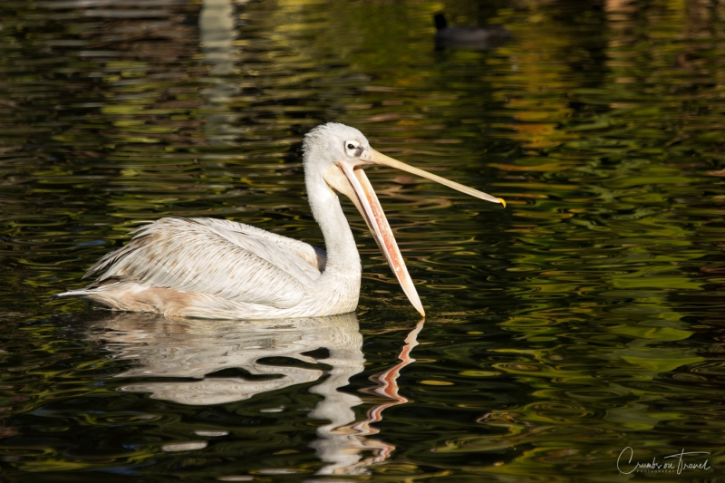 San Diego Zoo Safari Park - Pelican