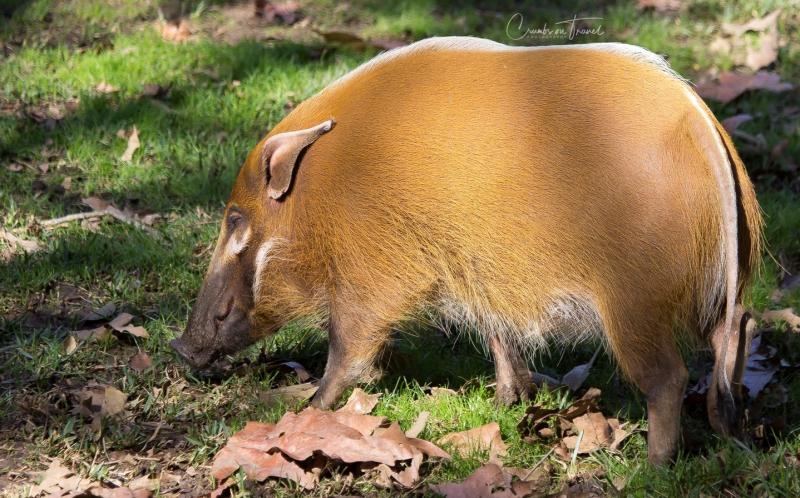 San Diego Zoo Safari Park - red River Hog
