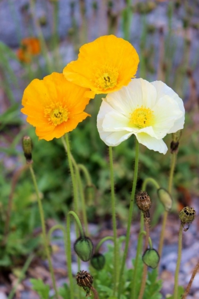Californian poppies seen in South Tyrol/Italy