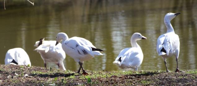 Geese, Protected area Aalbek, Schleswig-Holstein, Germany