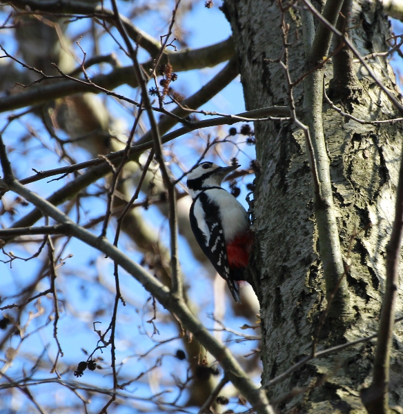 Great spotted woodpecker, Protected area Aalbek, Schleswig-Holstein, Germany