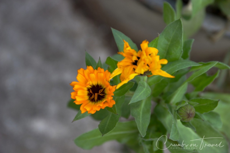 Spring flowers Pot Marigold