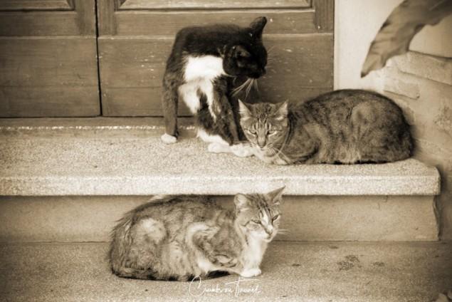 Cats in Suvereto