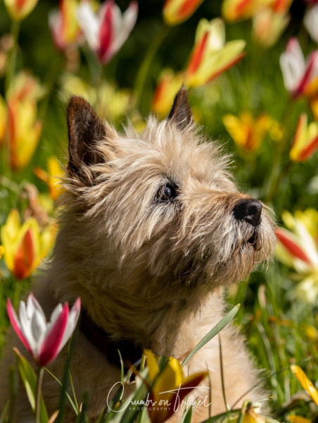 Tulip-dog