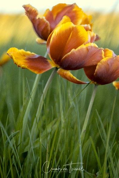 Bi-colored Tulips