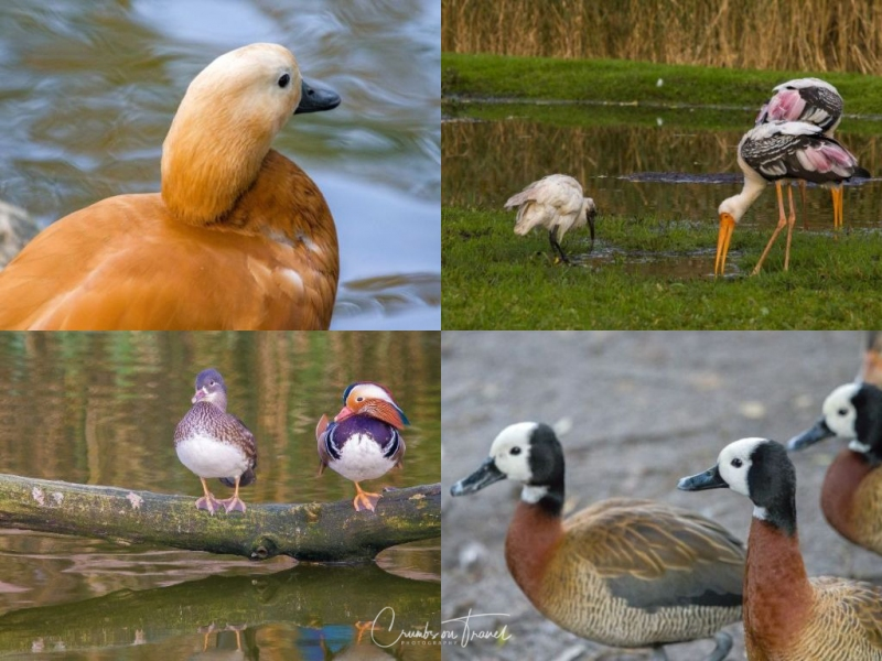 Ducks and Waldrapp