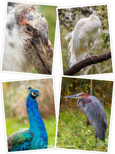 Peacocks and Herons