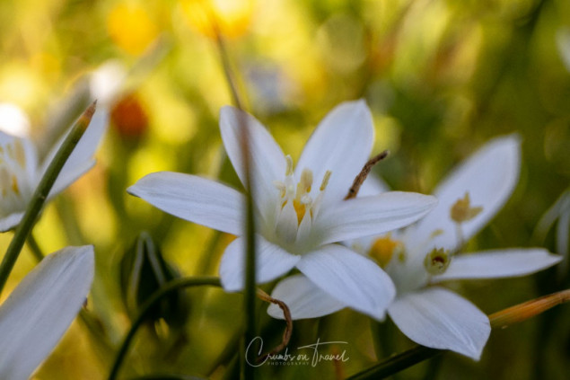 Garden star-of-bethlehem