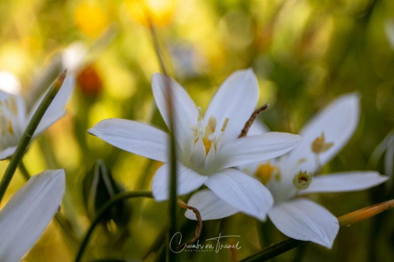 Garden star-of-bethlehem