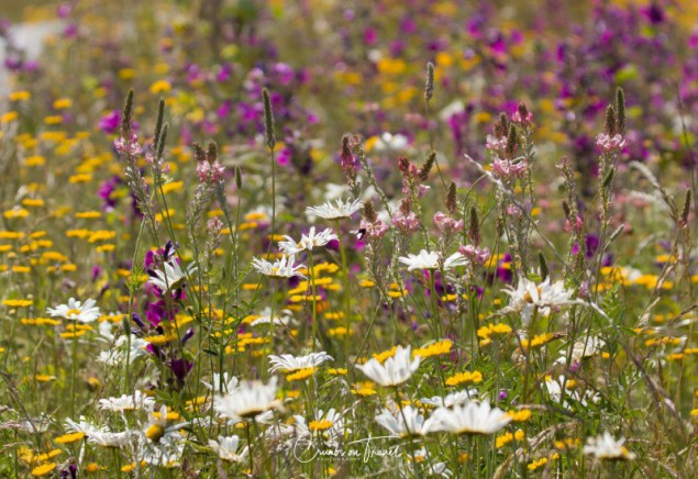 Wildflowers in Europe, June 2019 - mix