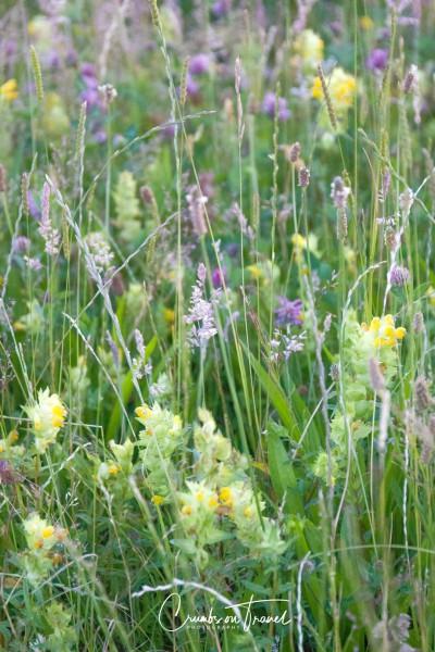 Wildflowers in Europe, June 2019- mix