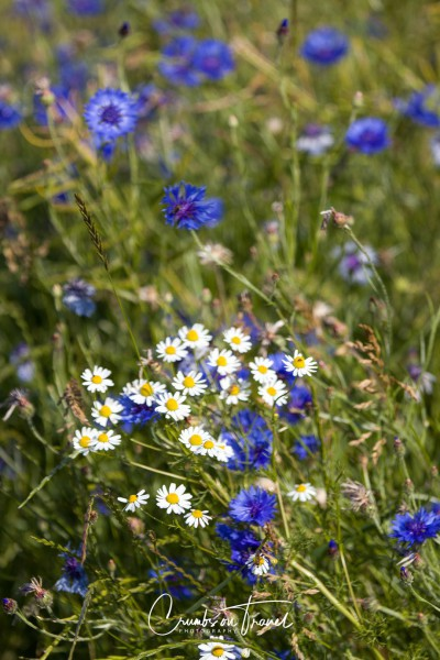 Wildflowers in Europe, June 2019 - oxeye dausies and corn flowers