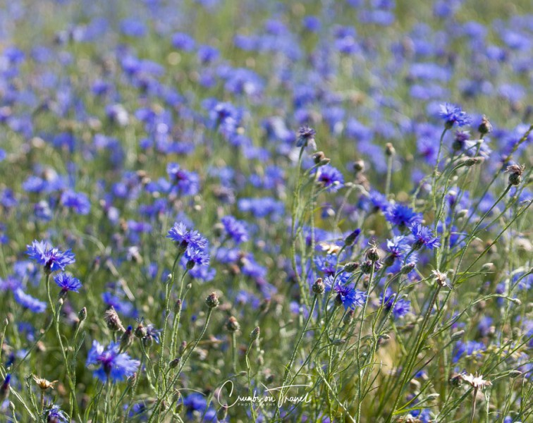 Wildflowers in Europe, June 2019 - corn flowers