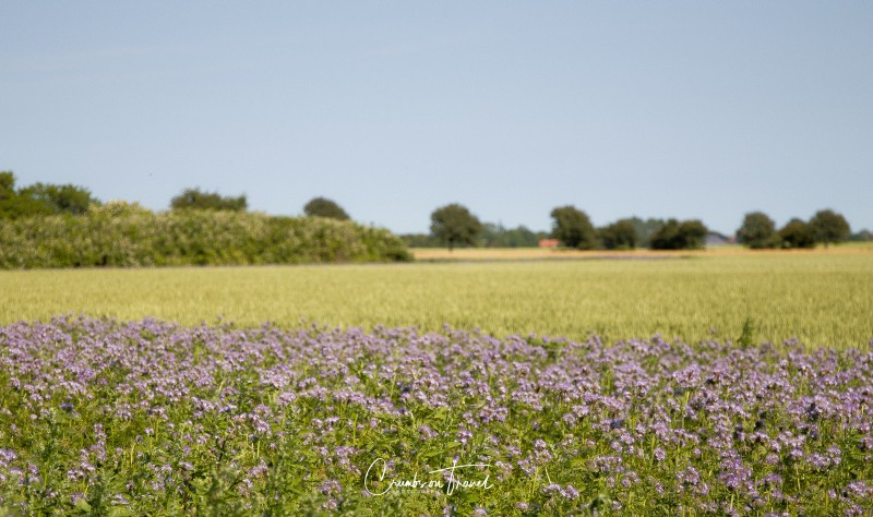 Wildflowers in Europe, June 2019 - phacelia