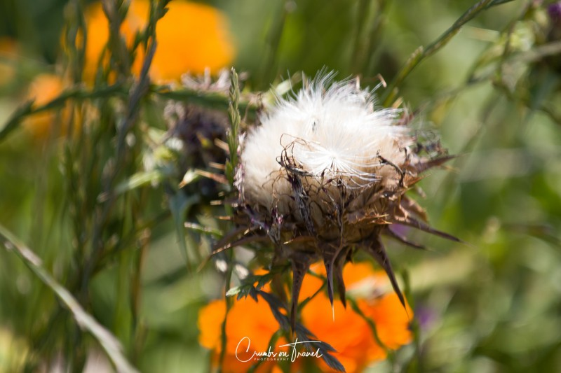 Wildflowers in Europe, June 2019 - thistle