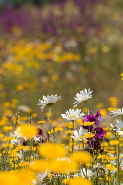 Wildflowers in Europe, June 2019 - mix