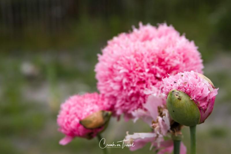 Wildflowers in Europe, June 2019 - poppies