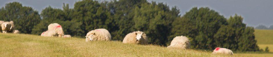 Sheep on a dike in Sankt Peter Ording, Nordfriesland